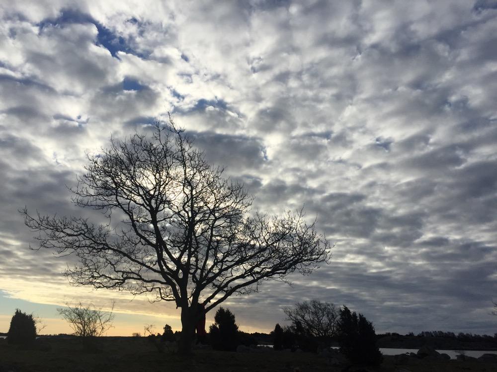 Koola träd